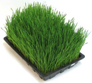 Charola-Wheatgrass