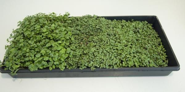 Charola de Microgreens Vivos